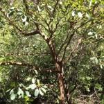 עץ הקטלב בנחל קטלב